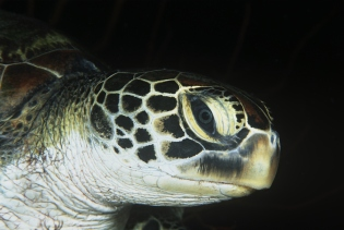 A close-up of a green turtle