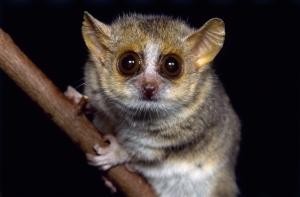 A portrait of a grey mouse lemur