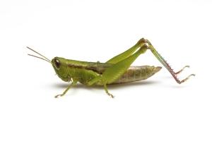 A grasshopper against a white background
