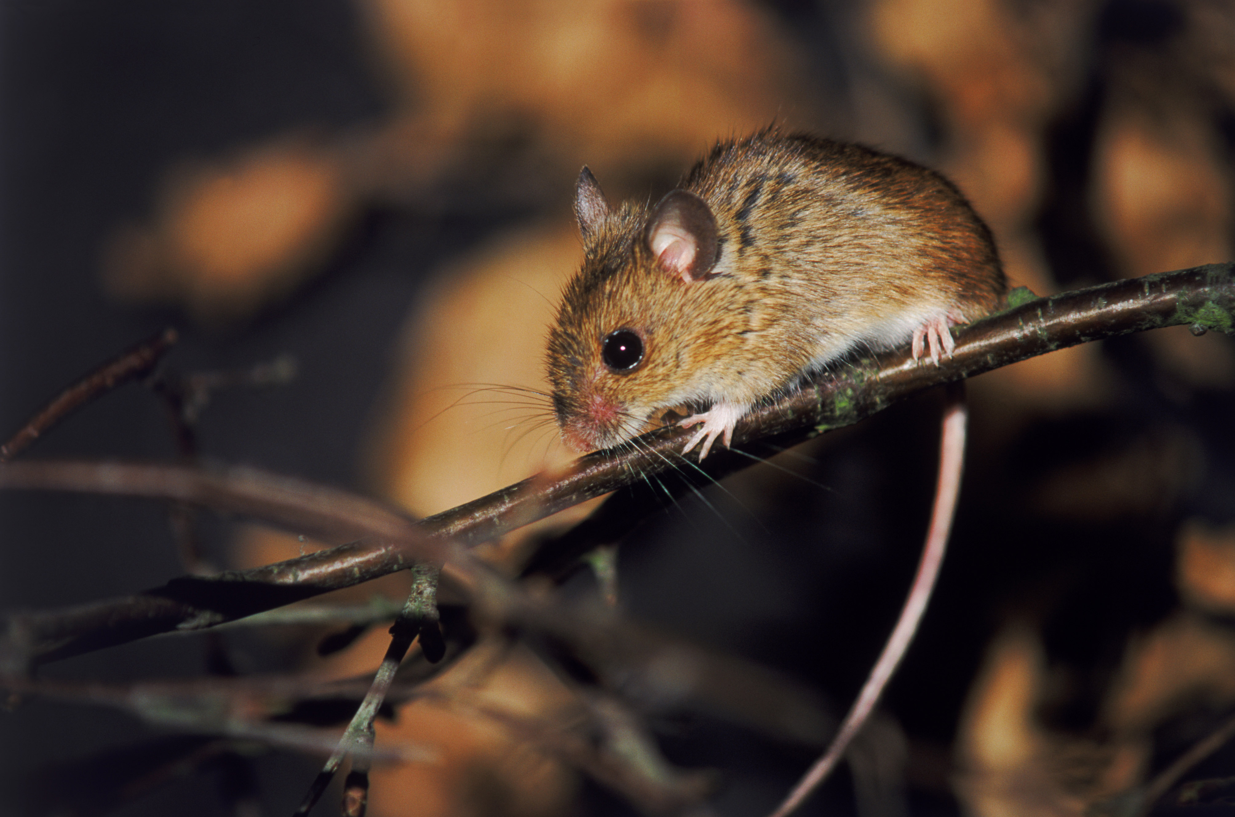 A cute little mouse on a tree branch