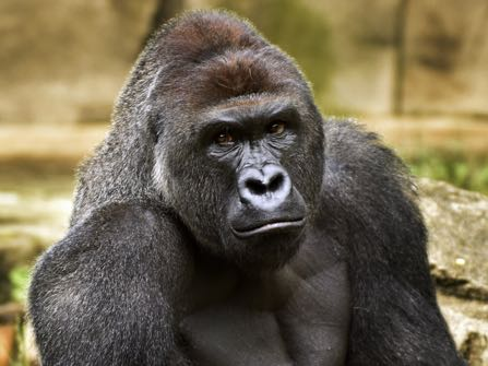 FILE - This June 20, 2015 file photo provided by the Cincinnati Zoo and Botanical Garden shows Harambe, a western lowland gorilla, who was fatally shot Saturday, May 28, 2016, to protect a 3-year-old boy who had entered its exhibit. The boy's breach of a gorilla exhibit at the zoo, leading authorities to fatally shoot the gorilla to protect the child, has focused attention on zoo enclosures and security. (Jeff McCurry/Cincinnati Zoo and Botanical Garden via The Cincinatti Enquirer via AP, File)