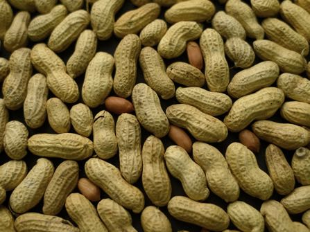 FILE - This Feb. 20, 2015 file photo, photo shows an arrangement of peanuts in New York. A study published Oct. 26, 2016, in the Journal of Allergy and Clinical Immunology says nearly half of those treated with a skin patch for peanut allergy sufferers were able to consume at least 10 times more peanut protein than they were able to consume prior to treatment. (AP Photo/Patrick Sison, File)